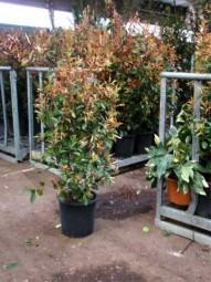 Glanzmispel / Photinia fraseri 'Red Robin' 125-150 cm im 15-Liter Container