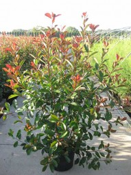 Glanzmispel / Photinia fraseri 'Red Robin' 125-150 cm im 35-Liter Container