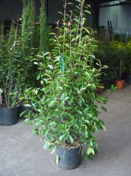 Glanzmispel / Photinia fraseri 'Red Robin' 150-175 cm im 25-Liter Container