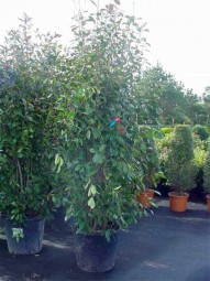 Glanzmispel / Photinia fraseri 'Red Robin' 175-200 cm im 70-Liter Container