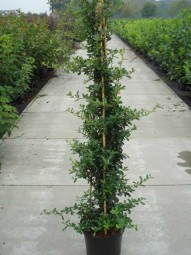 Feuerdorn 'Red Column' / Pyracantha 'Red Column' 150-175 cm im 12-Liter Container