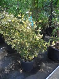 Buntlaubige Ölweide 'Maculata' / Elaeagnus pungens 'Maculata' 80-100 cm im 20-Liter Container