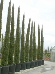 Mittelmeer-Zypresse / Säulenzypresse / Cupressus sempervirens 500-600 im 285-Liter Container