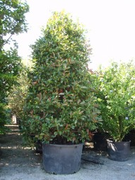 Glanzmispel / Photinia fraseri 'Red Robin' 300-350 cm im 250-Liter Container