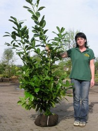 Prunus laurocerasus 'Novita' / Kirschlorbeer 'Novita' 150-175 cm mit Ballierung