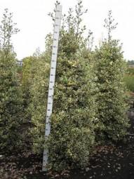 Weißbunte Gartenhülse 'Argentea Marginata' / Ilex aquifolium 'Argentea Marginata' 200-250 cm Solitär mit Drahtballierung