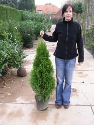Lebensbaum 'Smaragd' / Thuja occidentalis 'Smaragd' 80-100 cm im 5-Liter Container