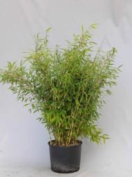 Gartenbambus / Fargesia rufa 100-125 cm im 25-Liter Container