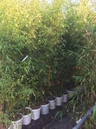 Bronze-Bambus / Phyllostachys humilis 175-200 cm im 20-Liter Container