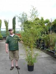 Goldener Peking Bambus / Phyllostachys aureosulcata 'Aureocaulis' 150-175 cm im 20-Liter Container