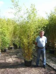 Goldener Peking Bambus / Phyllostachys aureosulcata 'Aureocaulis' 250-300 cm im 35-Liter Container