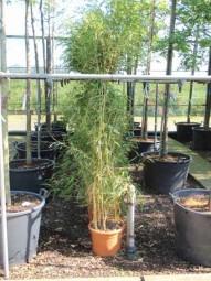 Flachrohr-Bambus / Phyllostachys aureosulcata 'Spectabilis' 125-150 cm im 10-Liter Container