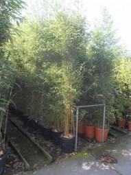 Flachrohr-Bambus / Phyllostachys aureosulcata 'Spectabilis' 200-250 cm im 25-Liter Container