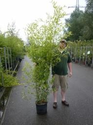 Bisset Bambus / Phyllostachys bissetii 175-200 cm im 30-Liter Container