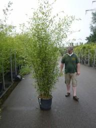 Bisset Bambus / Phyllostachys bissetii 200-250 cm im 35-Liter Container
