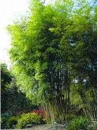 Gold Haar Bambus / Phyllostachys nigra henonis 300-350 cm im 70-Liter Container