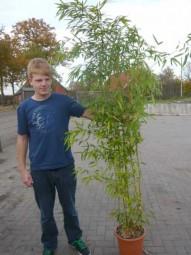 Zauber-Bambus / Phyllostachys vivax 'Aureocaulis' 175-200 cm im 20-Liter Container