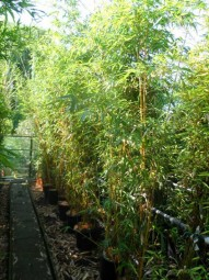 Zauber-Bambus / Phyllostachys vivax 'Aureocaulis' 200-250 cm im 35-Liter Container