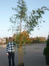 Zauber-Bambus / Phyllostachys vivax 'Aureocaulis' 250-300 cm im 35-Liter Container