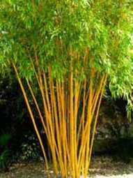 Zauber-Bambus / Phyllostachys vivax 'Aureocaulis' 300-350 cm im 50-Liter Container