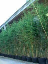 Zauber-Bambus / Phyllostachys vivax 'Aureocaulis' 400-450 cm im 160-Liter Container