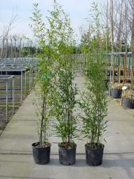 Schwarzer Bambus / Phyllostachys nigra 150-175 cm im 12-Liter Container