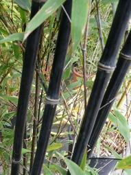 Schwarzer Bambus / Phyllostachys nigra 200-250 cm im 25-Liter Container