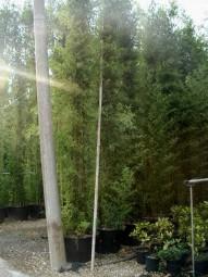 Schwarzer Bambus / Phyllostachys nigra 400-500 cm im 110-Liter Container
