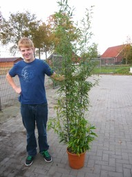Brauner Flecken Bambus / Phyllostachys nigra 'Boryana' 175-200 cm im 20-Liter Container