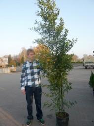 Brauner Flecken Bambus / Phyllostachys nigra 'Boryana' 200-250 cm im 30-Liter Container