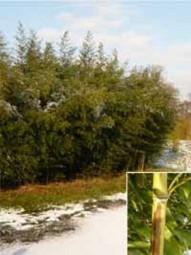 Brauner Flecken Bambus / Phyllostachys nigra 'Boryana' 250-300 cm im 50-Liter Container