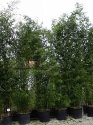 Brauner Flecken Bambus / Phyllostachys nigra 'Boryana' 300-350 cm im 70-Liter Container