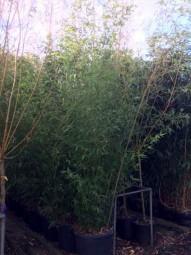 Grüner Pulver Bambus / Phyllostachys viridiglaucescens 175-200 cm im 20-Liter Container