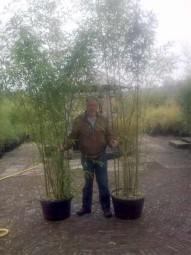 Grüner Pulver Bambus / Phyllostachys viridiglaucescens 200-250 cm im 25-Liter Container