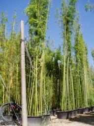 Grüner Pulver Bambus / Phyllostachys viridiglaucescens 500-600 cm im 150-Liter Container