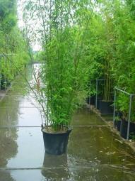 Knoten-Bambus / Phyllostachys aurea 250-300 cm im 50-Liter Container