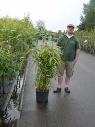 Japanischer Pfeilbambus / Pseudosasa japonica 100-125 cm im 10-Liter Container