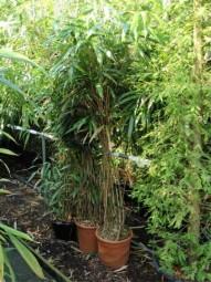 Japanischer Pfeilbambus / Pseudosasa japonica 150-175 cm im 20-LIter Container