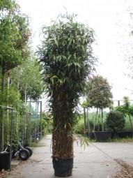 Japanischer Pfeilbambus / Pseudosasa japonica 300-350 cm im 90-Liter Container