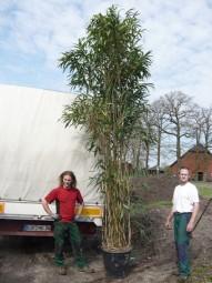 Japanischer Pfeilbambus / Pseudosasa japonica 350-400 cm im 90-Liter Container
