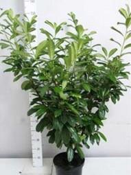 Prunus laurocerasus 'Novita' / Kirschlorbeer 'Novita' 100-125 cm im 10-Liter Container