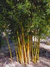 Goldener Peking Bambus / Phyllostachys aureosulcata 'Aureocaulis' 350-400 cm im 100-Liter Container