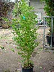 Knoten-Bambus / Phyllostachys aurea 125-150 cm im 12-Liter Container
