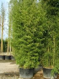 Knoten-Bambus / Phyllostachys aurea 500-600 cm im 150-Liter Container