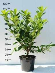 Prunus laurocerasus 'Rotundifolia' / Kirschlorbeer 'Rotundifolia' 80-100 cm im 5-Liter Container
