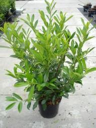 Kirschlorbeer 'Caucasica' / Prunus laurocerasus 'Caucasica' 80-100 cm im 10-Liter Container