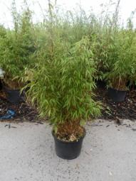 Gartenbambus / Fargesia rufa 60-80 cm im 10-Liter Container
