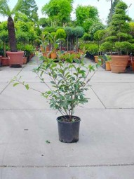 Glanzmispel / Photinia fraseri 'Red Robin' 60-80 cm im 5-Liter Container