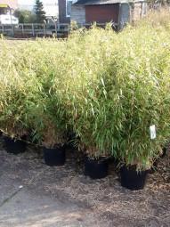 Gartenbambus / Fargesia rufa 80-100 cm im 12-Liter Container