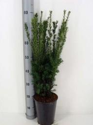 Fruchtlose Becher-Eibe 'Hillii' / Taxus media 'Hillii' 40-60 cm im 3-Liter Container